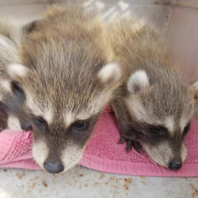 "Baby Raccoons, aka ""Trash Pandas,"" according to Wes."