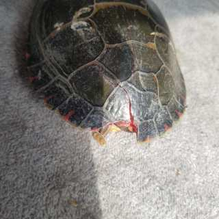 Be careful when driving. Turtles are on the move!