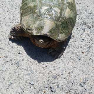 This snapper just needed a bit of help getting to her pond.